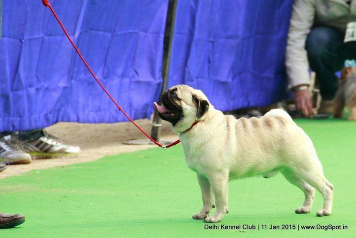 pug,sw-145,, Delhi Kennel Club , DogSpot.in