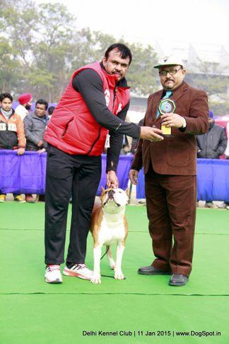 american staffordshire terrier,bob,sw-145,terriers,, Delhi Kennel Club , DogSpot.in