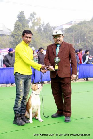 american staffordshire terrier,rbob,sw-145,terriers,, Delhi Kennel Club , DogSpot.in