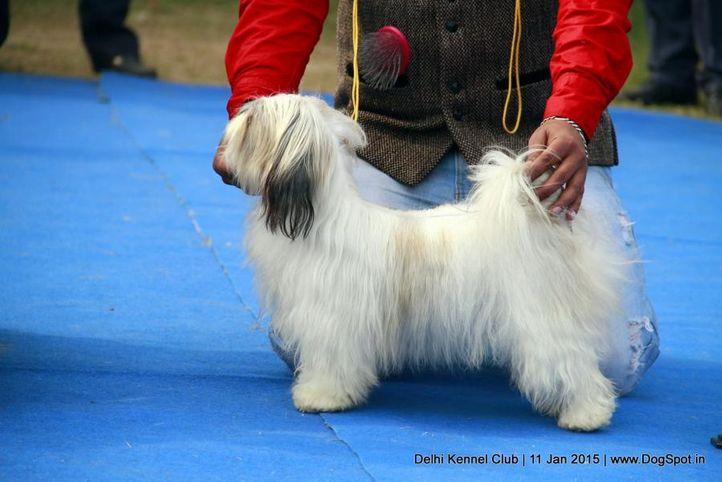 shih tzu,sw-145,, Delhi Kennel Club , DogSpot.in