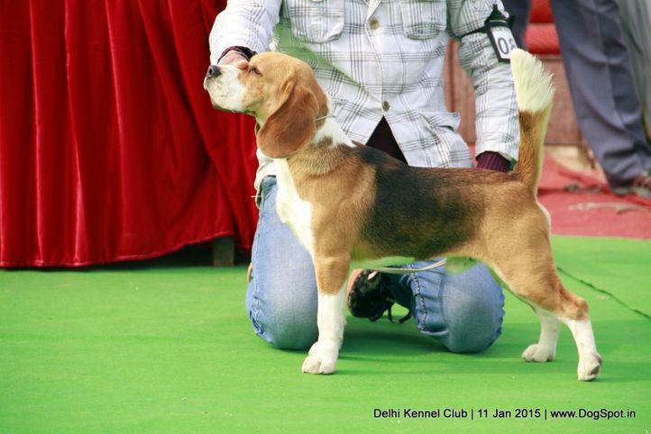 beagle,ex-80,sw-145,, OSPREY'S OGGIE, Beagle, DogSpot.in