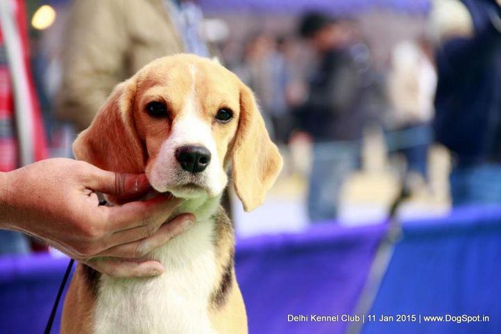 beagle,ex-84,sw-145,, BIMRO'S MENI MENDMENY, Beagle, DogSpot.in