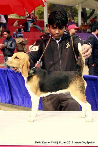 beagle,ex-83,sw-145,, TUTI, Beagle, DogSpot.in