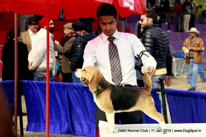 beagle,ex-85,sw-145,, WINALL'S IDEA CREAM, Beagle, DogSpot.in