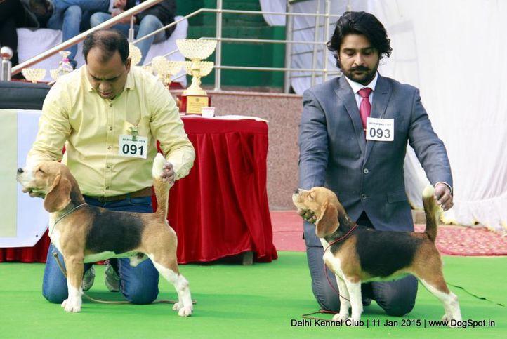 beagle,sw-145,, Delhi Kennel Club , DogSpot.in