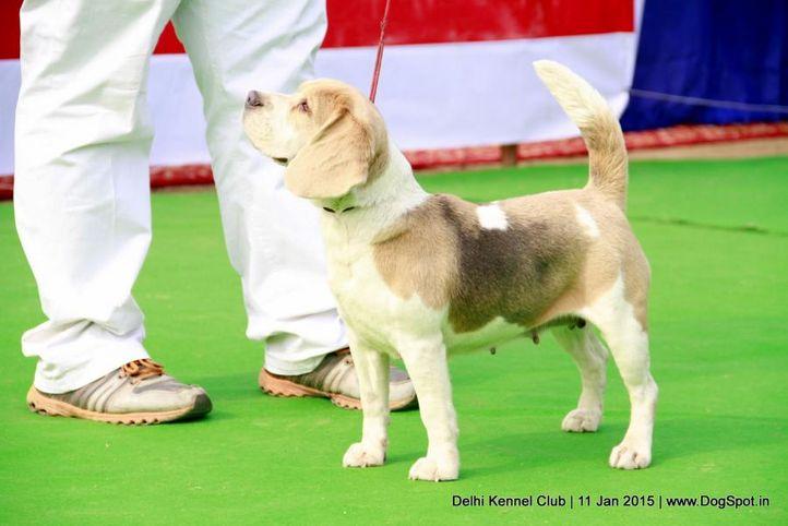 beagle,ex-89,sw-145,, SHYAMBIR'S CHERR PIC, Beagle, DogSpot.in