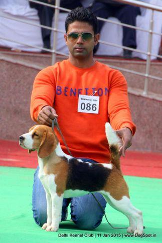 beagle,ex-86,sw-145,, VIDANE'S RISE & SHINE, Beagle, DogSpot.in