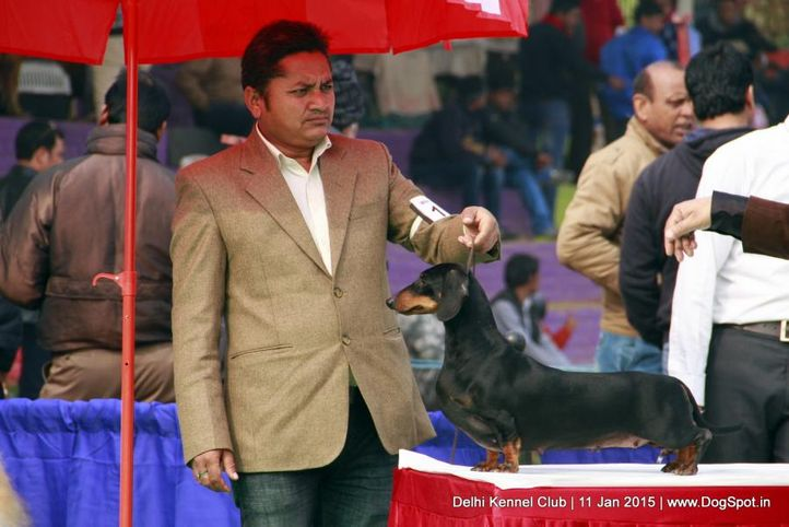 dachshund standard- smooth haired,sw-145,, Delhi Kennel Club , DogSpot.in
