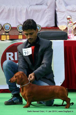 dachshund standard- smooth haired,ex-100,sw-145,, SILVER, Dachshund Standard- Smooth Haired, DogSpot.in