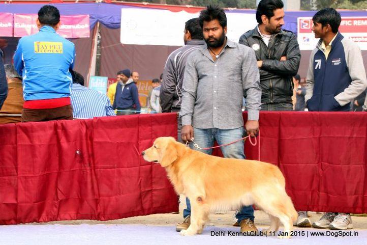 golden retriever,sw-145,, Delhi Kennel Club , DogSpot.in