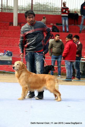 golden retriever,sw-145,, Delhi Kennel Club , DogSpot.in
