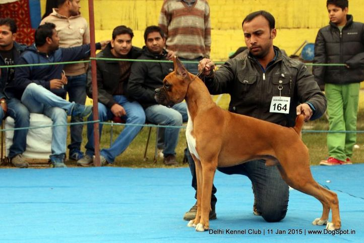 boxer,ex-164,sw-145,, FORTSIDE S BUNGLAR, Boxer, DogSpot.in