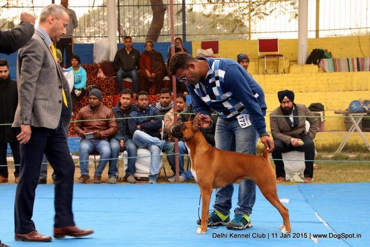 boxer,ex-172,sw-145,, ZODIAC'S LASTELL'S MAGICAL TWIST, Boxer, DogSpot.in