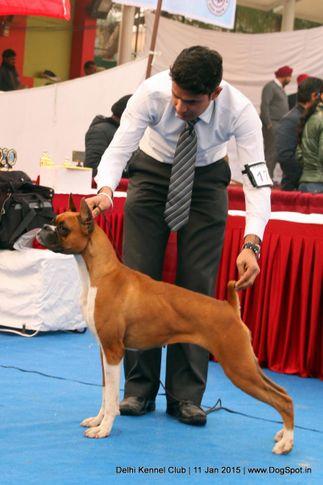 boxer,ex-174,sw-145,, WINALL'S ALBONQUIN, Boxer, DogSpot.in