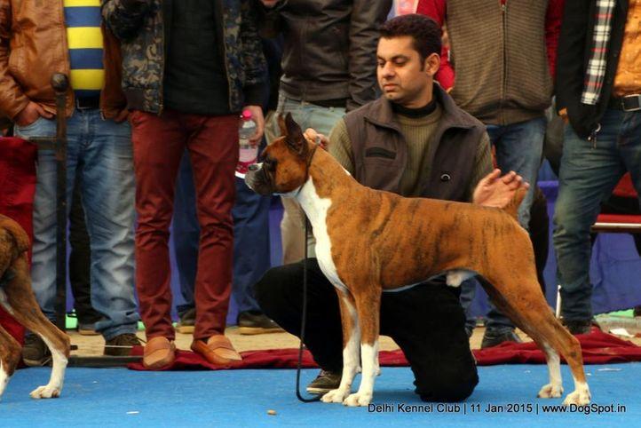boxer,ex-178,sw-145,, OSPREY'S BENN, Boxer, DogSpot.in