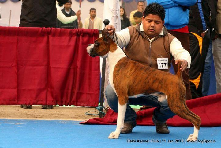 boxer,ex-177,sw-145,, VALENTINO'S JODEN, Boxer, DogSpot.in