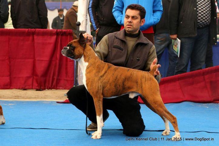 boxer,sw-145,, Delhi Kennel Club , DogSpot.in
