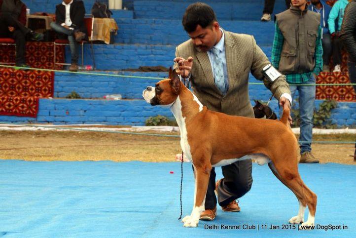 boxer,ex-179,sw-145,, LIQUOR ON ROCKS VON AGRANI, Boxer, DogSpot.in