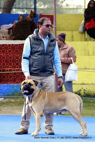 bullmastiff,sw-145,, Delhi Kennel Club , DogSpot.in