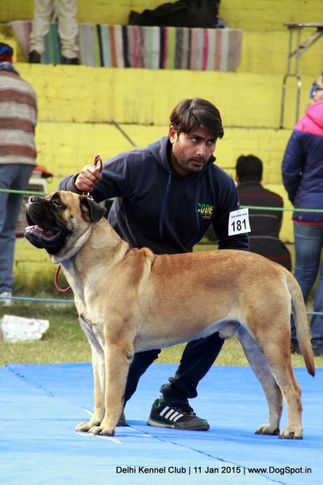 bullmastiff,ex-181,sw-145,, SHANKY'S ONE OF A KIND, Bullmastiff, DogSpot.in