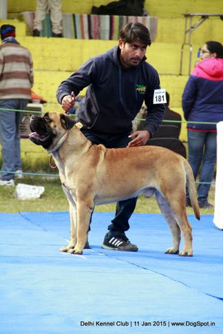 bullmastiff,ex-181,sw-145,, SHANKY'S ONE OF A KIND, Bullmastiff, DogSpot.in