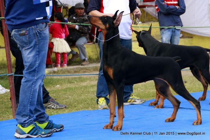 doberman pinscher,sw-145,, Delhi Kennel Club , DogSpot.in