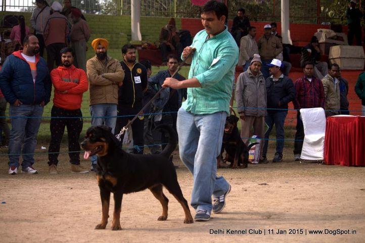 rottweiler,sw-145,, Delhi Kennel Club , DogSpot.in