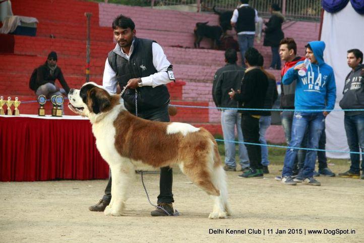 saint bernard,sw-145,, Delhi Kennel Club , DogSpot.in