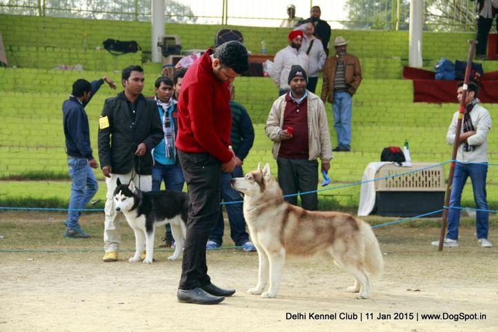 siberian husky,sw-145,, Delhi Kennel Club , DogSpot.in