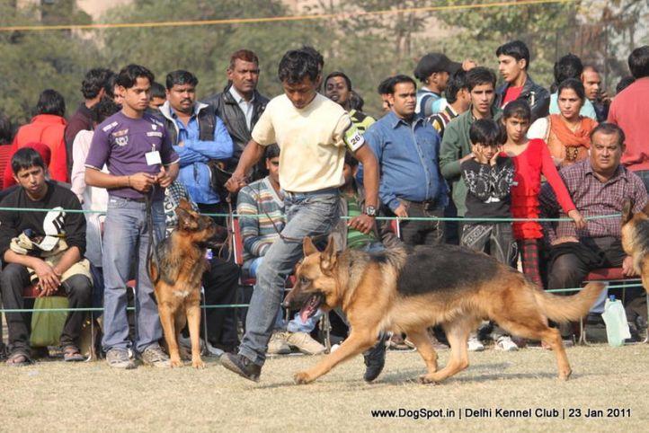 ex-261,gsd,sw-25,, DENNIS OF LIONHEART, German Shepherd Dog, DogSpot.in