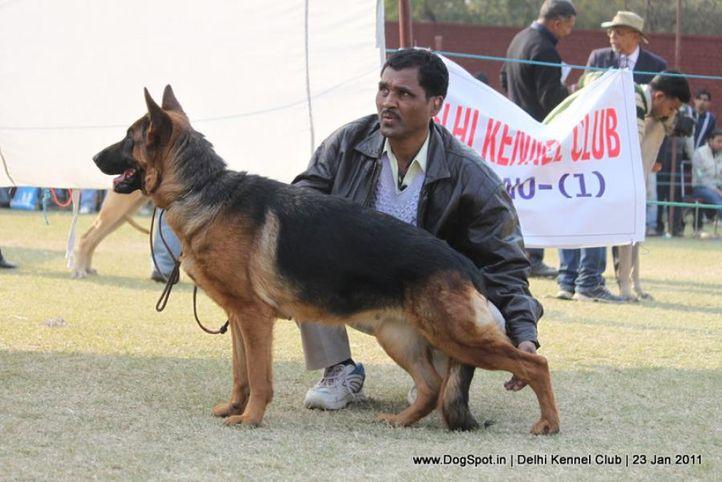 ex-264,gsd,sw-25,, KAIYZER, German Shepherd Dog, DogSpot.in