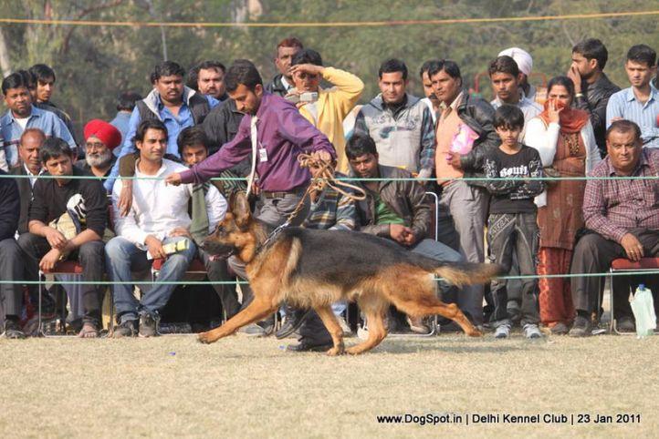 ex-269,gsd,sw-25,, REVEL VOM AURELIUS, German Shepherd Dog, DogSpot.in