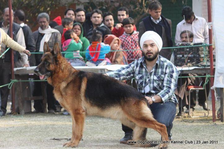 ex-280,gsd,sw-25,, NEXX VOM SUENTELSTEIN, German Shepherd Dog, DogSpot.in