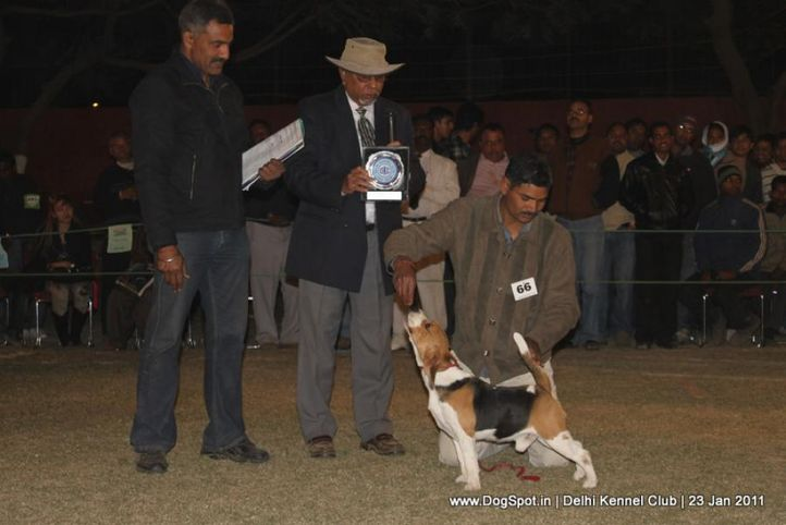 beagle,ex-66,sw-25,, BLUE BELL'S HIPPY, Beagle, DogSpot.in