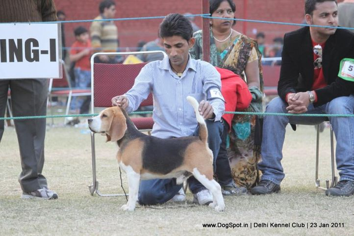 beagle,ex-70,sw-25,, YEOMAN'S FIGHITER, Beagle, DogSpot.in