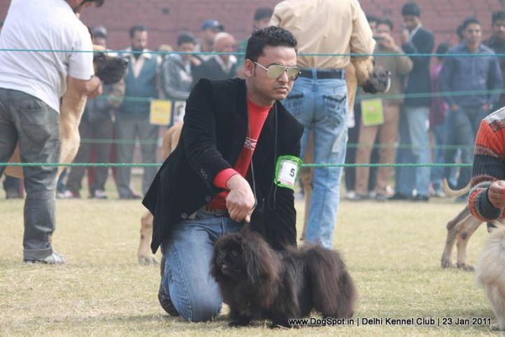 ex-5,pekingese,sw-25,, KESHATRA'S BLACK MAIL, Pekingese, DogSpot.in