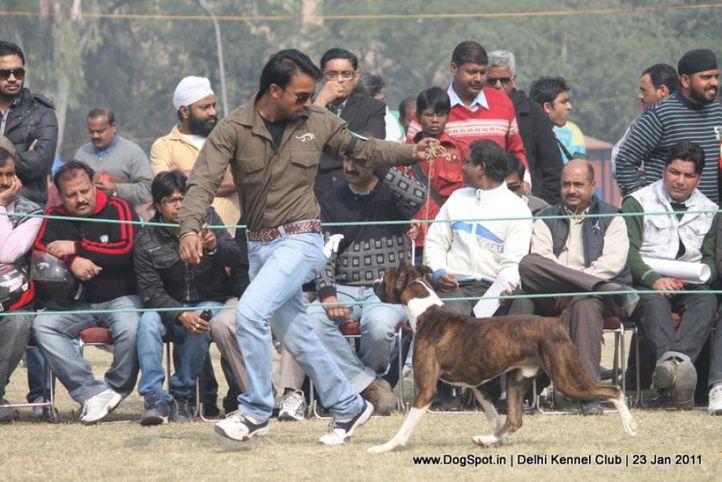 boxer,sw-25,, DKC 2011, DogSpot.in