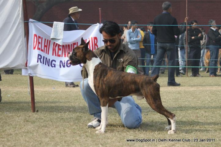 boxer,sw-25,, DKC 2011, DogSpot.in