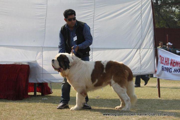 st bernard,sw-25,, DKC 2011, DogSpot.in