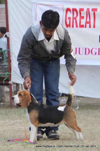 beagle,sw-25,, DKC 2011, DogSpot.in