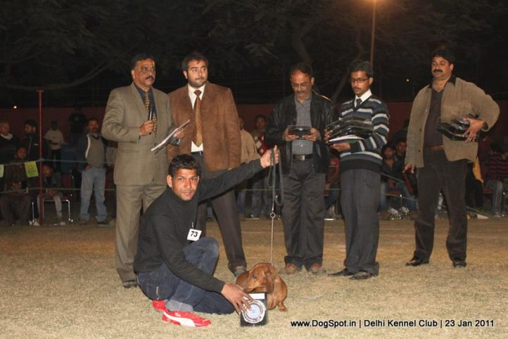 dachshund,ex-73,lineup,sw-25,, ANANDFARM'S COPPER SAND, Dachshund Standard- Smooth Haired, DogSpot.in