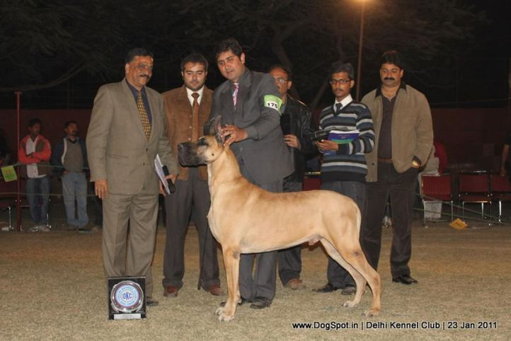 ex-175,great dane,lineup,sw-25,, Am.Can.Ind.Ch.Daynakin's Oscar Odyssey V Paquin, Great Dane, DogSpot.in