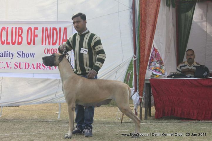 ex-170,great dane,sw-25,, CHARAMING MOMENT OF THAKUR, Great Dane, DogSpot.in