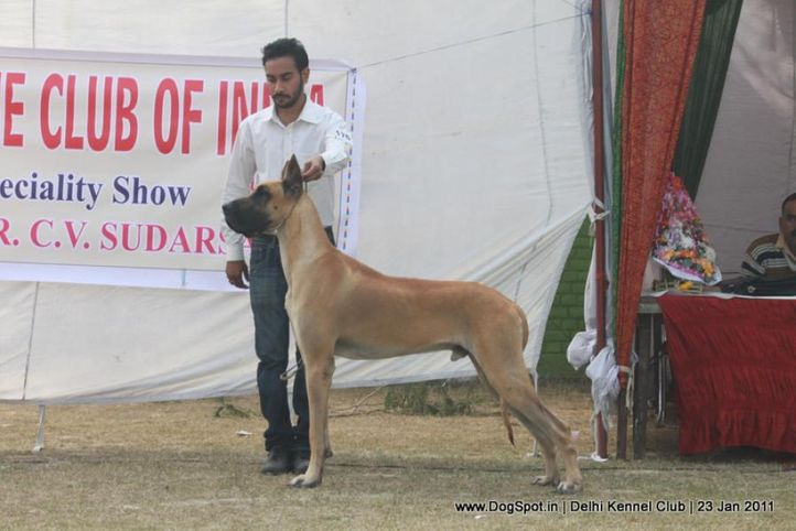 ex-176,great dane,sw-25,, CH. HAVE MORE FUN, Great Dane, DogSpot.in