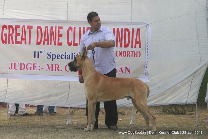 ex-301,great dane,sw-25,, DKC 2011, DogSpot.in