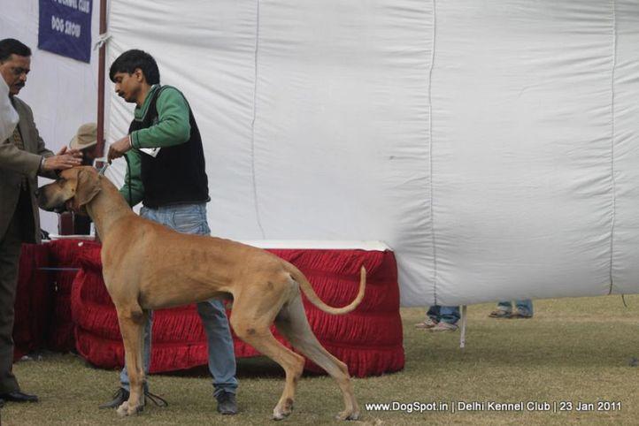 great dane,sw-25,, DKC 2011, DogSpot.in