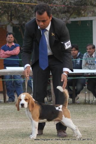 beagle,ex-50,sw-25,, BLUE BELL'S CHETAK OF BIMROS, Beagle, DogSpot.in