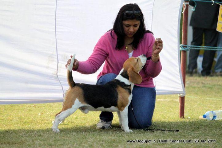 beagle,ex-51,sw-25,, RATN BELLA'S LOWEST COMMON DENOMINATOR, Beagle, DogSpot.in