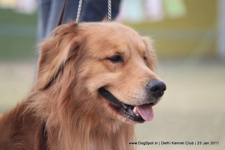 ex-92,golden,sw-25,, TH. GOLDEN ARMY S HOPE 2 BE WONDERFUL, Golden Retriever, DogSpot.in