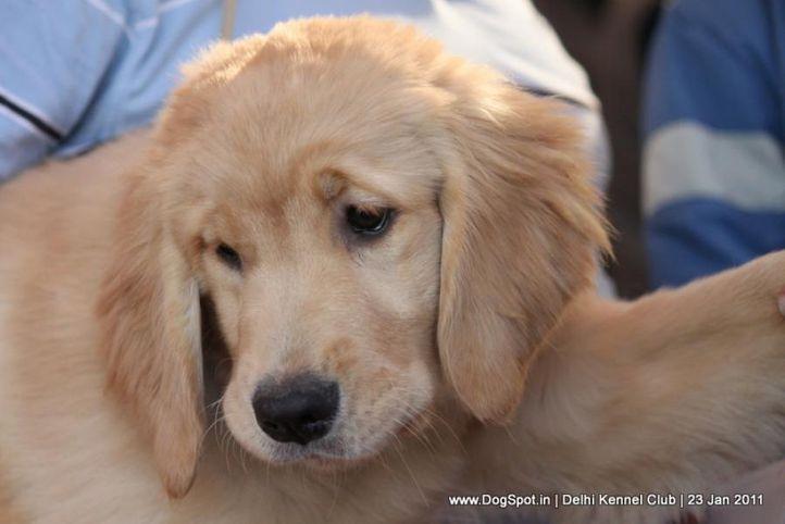 golden,sw-25,, DKC 2011, DogSpot.in
